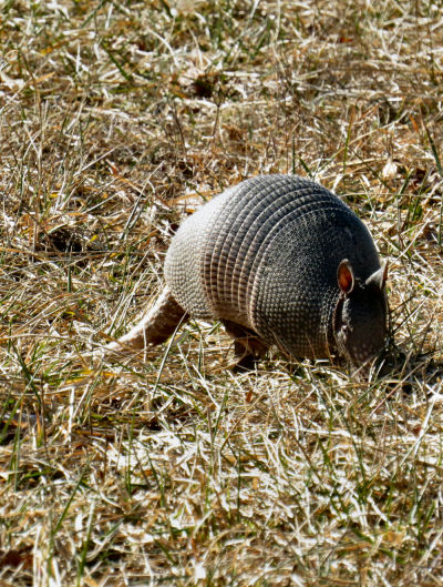 sneaking up on armadillos is challenging