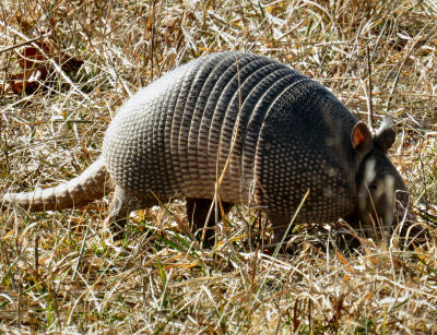 nine banded armadillo in pasture