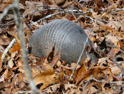 sneaking up on armadillos is hard in dry leaves