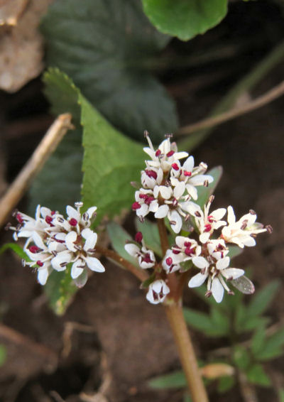 Harbinger of Spring, one of the native wildflowers
