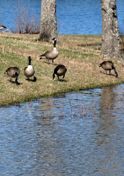 group of Canada geese
