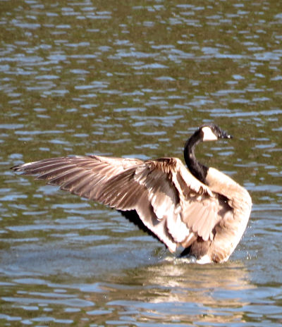 Canada goose landing in lake