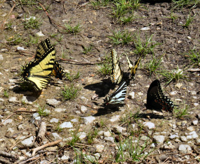 Swallowtail butterflies in a butterfly cluster