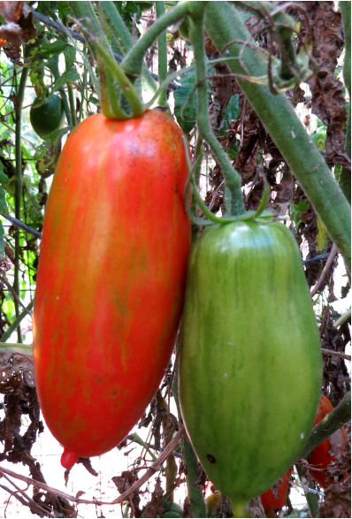 Lots of Speckled Roman tomatoes fill my never big enough garden