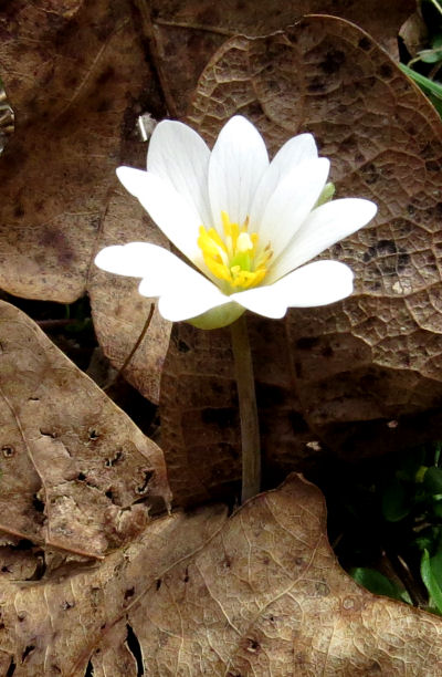 plant common names include bloodroot