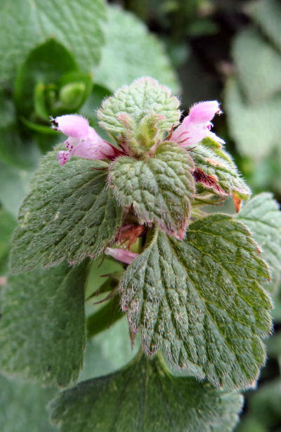 plant common names include dead nettles