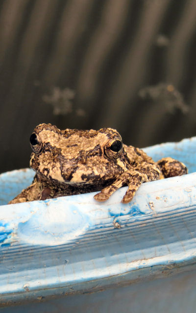 annual invasions of gray tree frogs