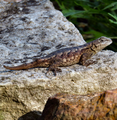 resident northern fence lizard