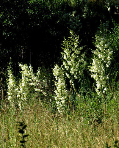 white yucca towers in a field