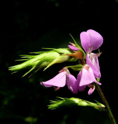 Desmodium flowers used in writing wildflower guides