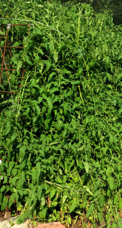 growing tomatoes on cattle panels