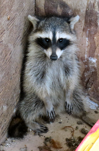 trapping raccoons by accident