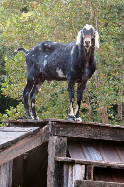 Nubian buck approves homestead repairs of goat gym