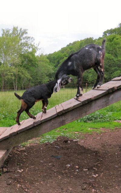 homestead repairs to the ramp are needed next so goats can play on it again