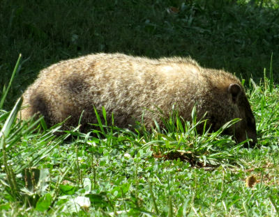 Woodchucks aka Groundhogs or Whistle Pigs are vegetarians