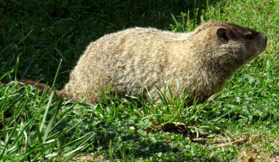Woodchucks aka Groundhogs or Whistle Pigs are wary creatures