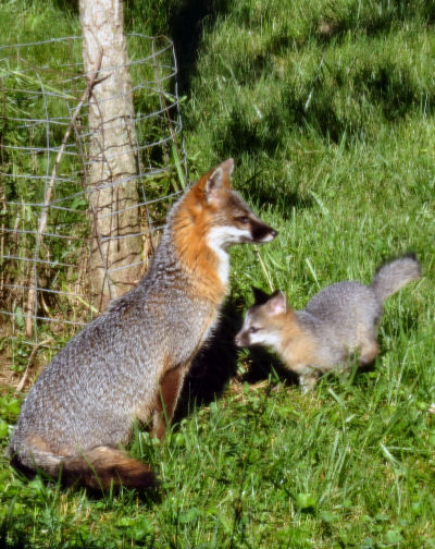 gray fox and pup