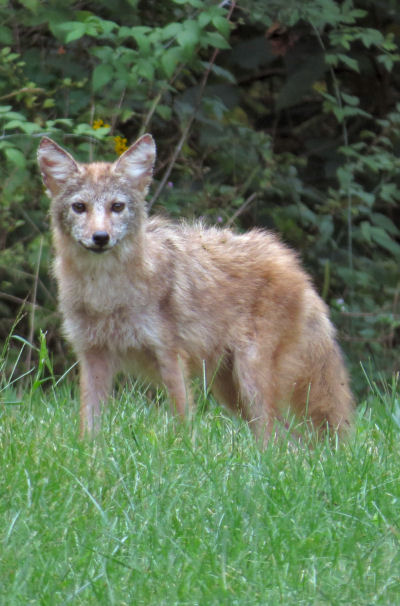 coyote arrives