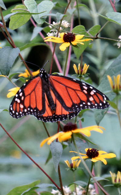 member of monarch butterfly migration