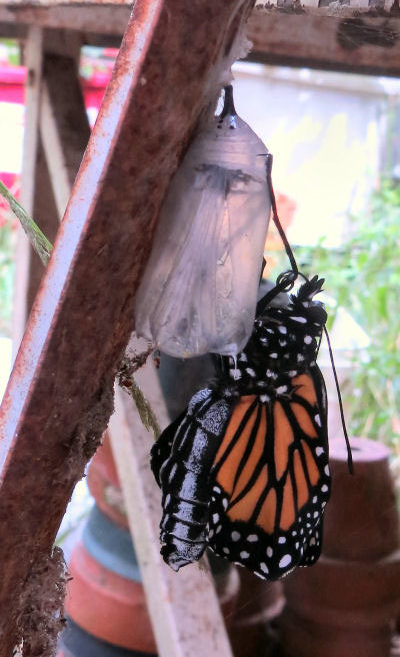 Monarch butterfly emerging from pupa