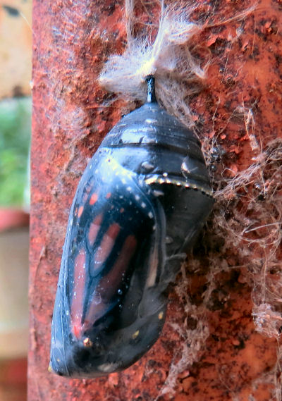 Monarch butterfly pupa ready to hatch