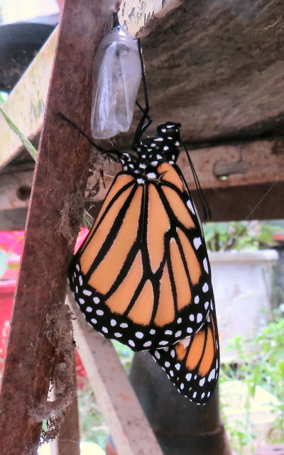 new member of the monarch butterfly migration