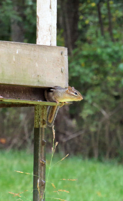 invading chipmunks must be acrobats to gain the metal ledge