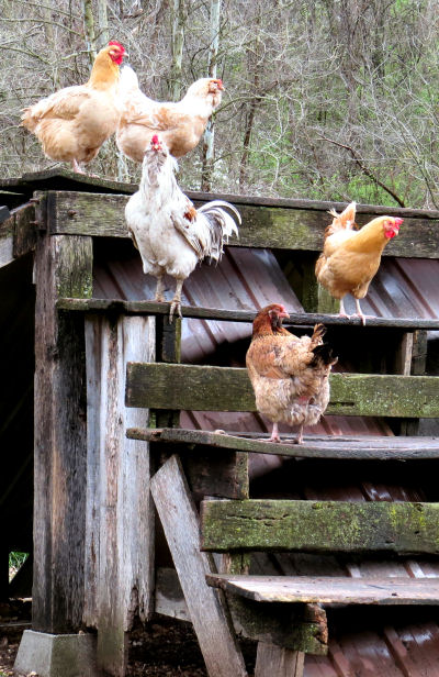 chickens are tempting for country dogs