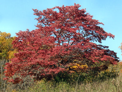 dogwood tree in fall colors