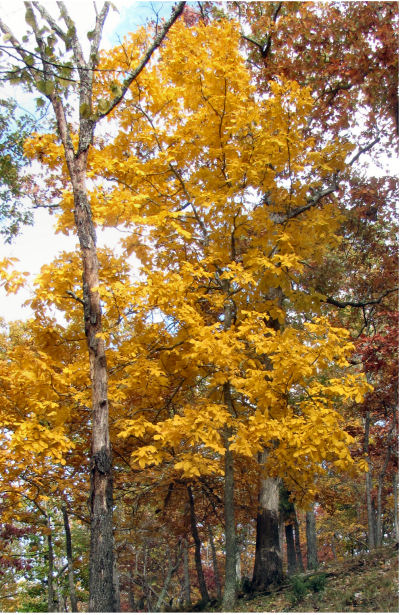 lemon yellow leaves make hickory trees stand out